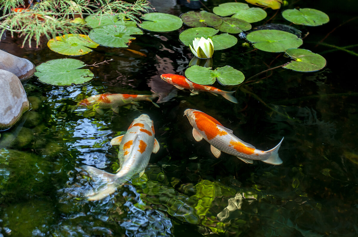 Un estanque de peces de colores.