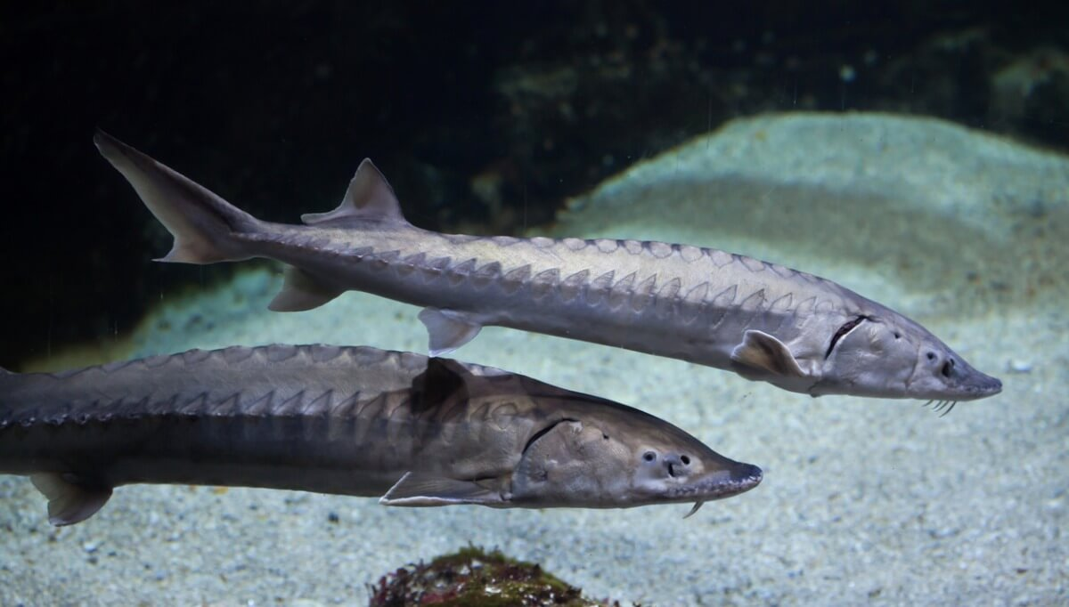 Sturgeons are one of the largest fish in the world.