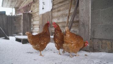 ¿Cómo proteger a las gallinas del frío?
