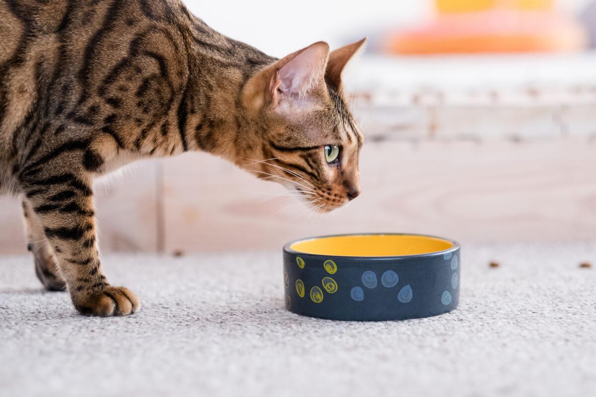 Un gato con un bol mirando al horizonte.