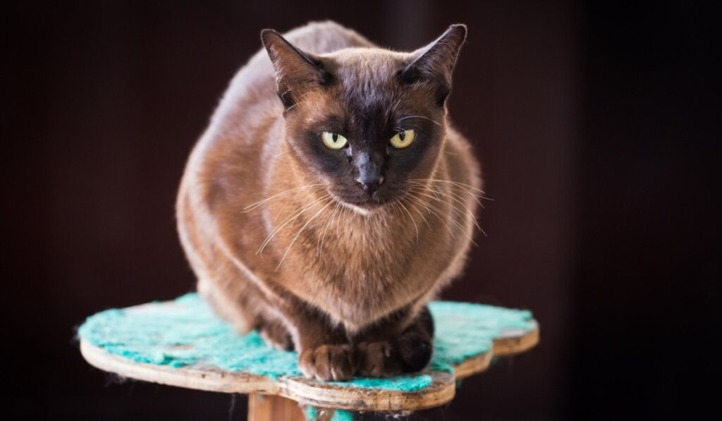 Gato burmés: características y comportamiento