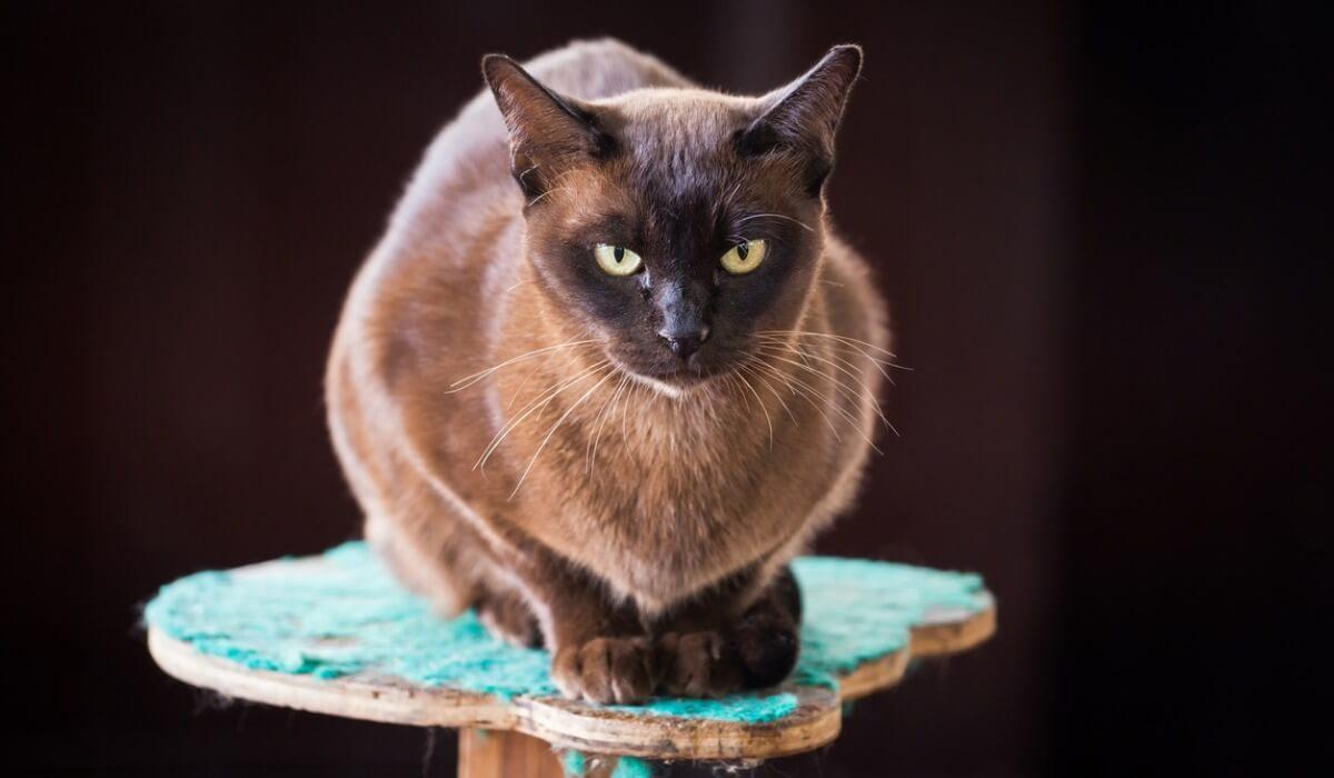 A sitting Burmese cat.