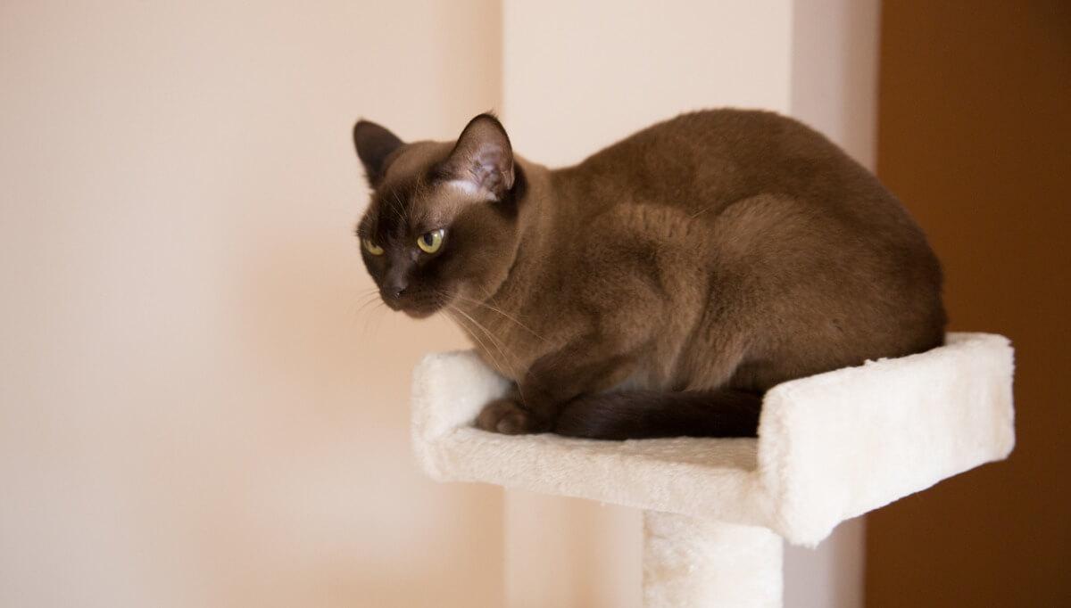 Un gato burmés subido a una torre.