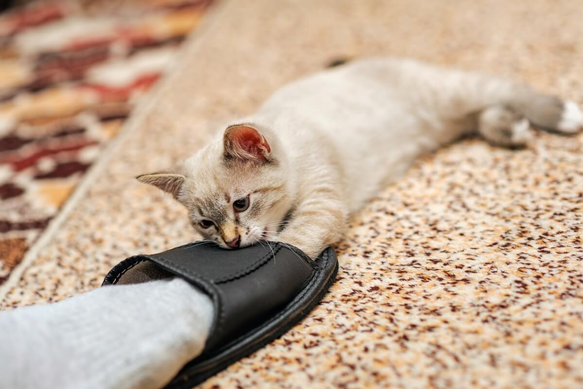 Un gato pequeño muerde el pie de su tutor.