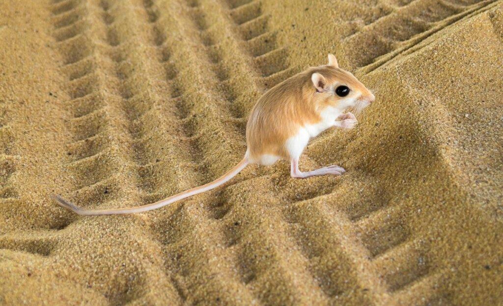 Rata canguro: hábitat y características