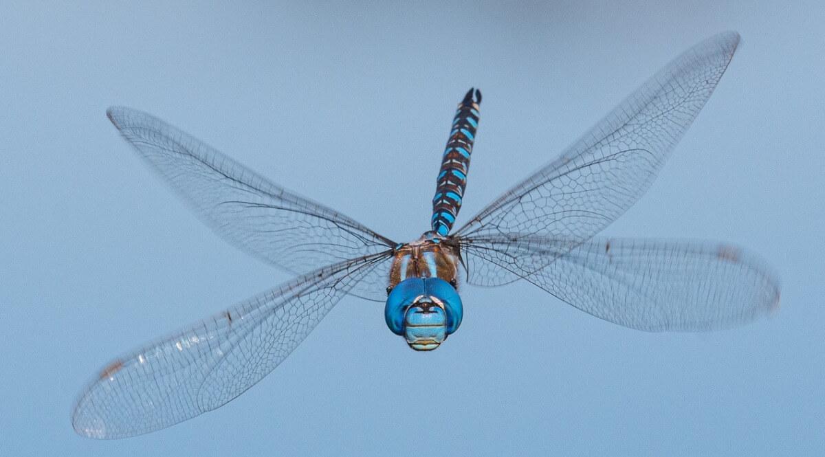Una libélula al vuelo.