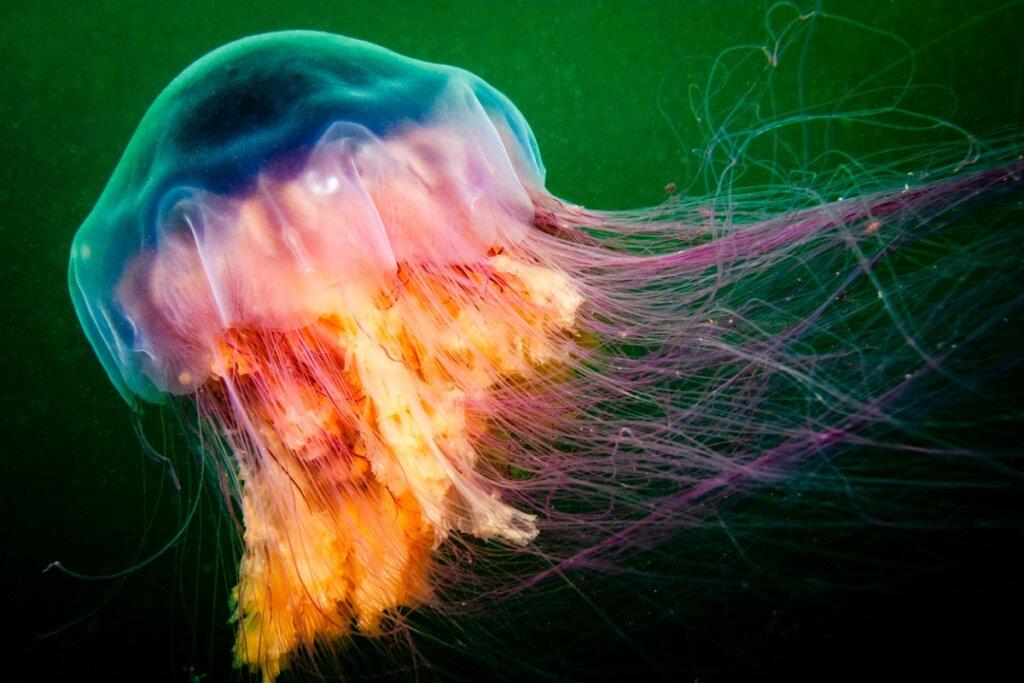 Las 5 medusas más venenosas