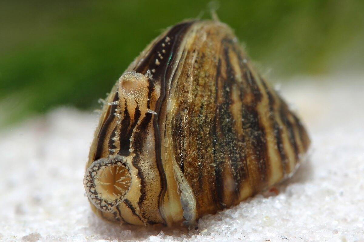 La moule zébrée fait partie des espèces envahissantes.