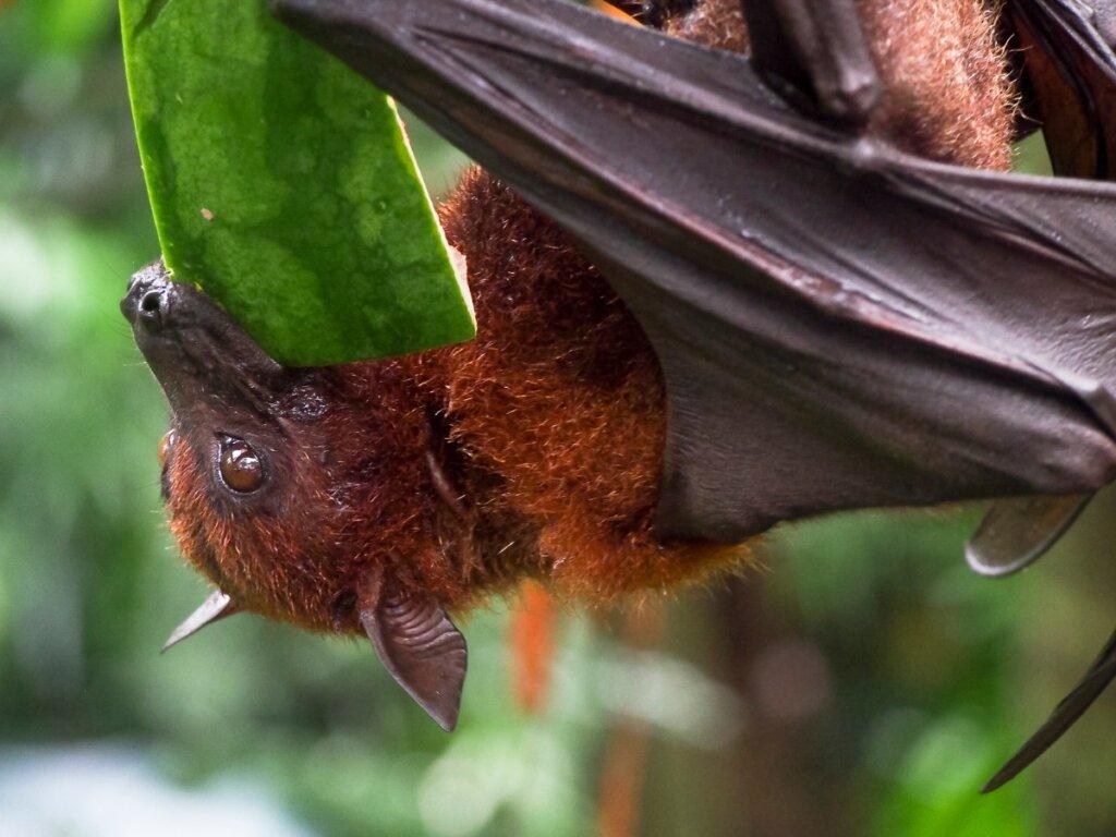 8 características de los murciélagos frugívoros