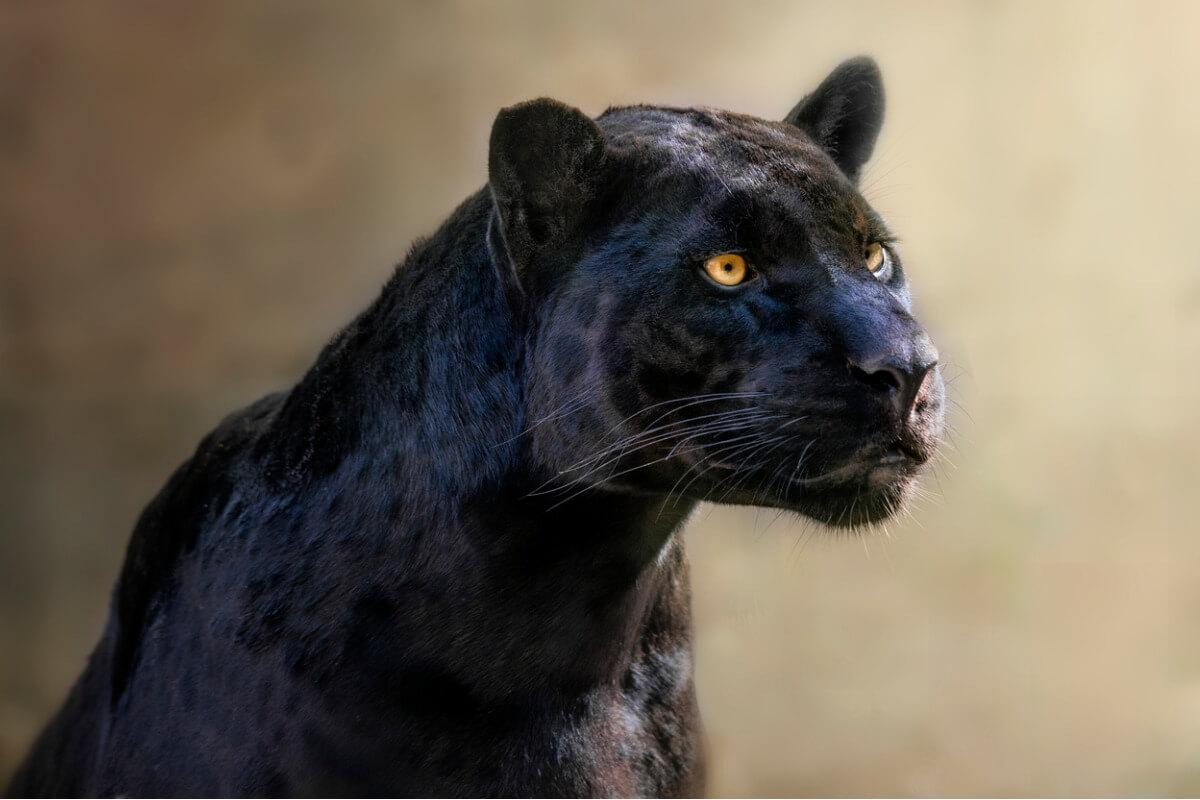 Una pantera negra.