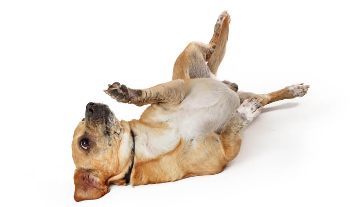 Un perro enseñando la barriga.