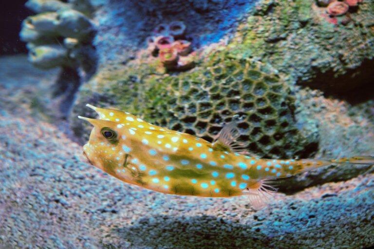 Pez cofre: características del pez más cuadrado del mundo