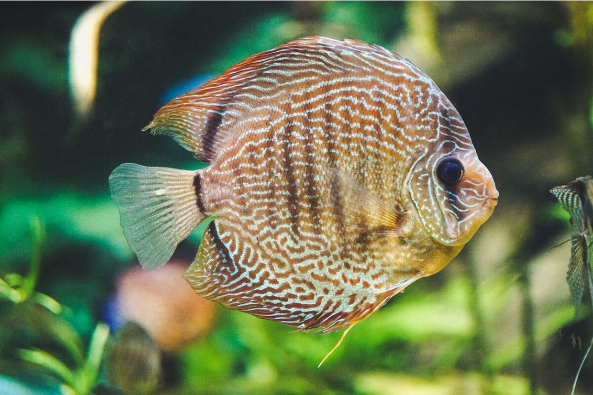 Un pez disco.