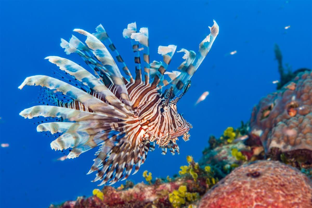 Un poisson-lion aux Bahamas.