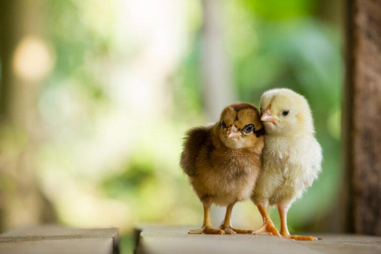 ¿Cómo criar pollitos?