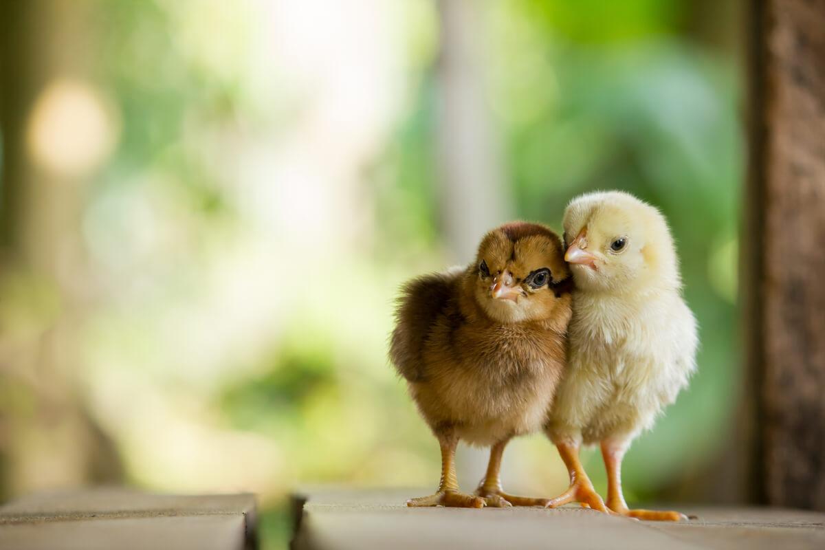 Het opvoeden van kuikens is niet moeilijk