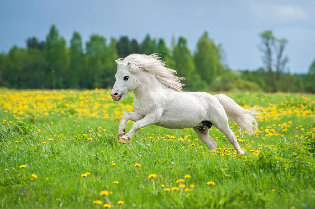 Un poni shetland.