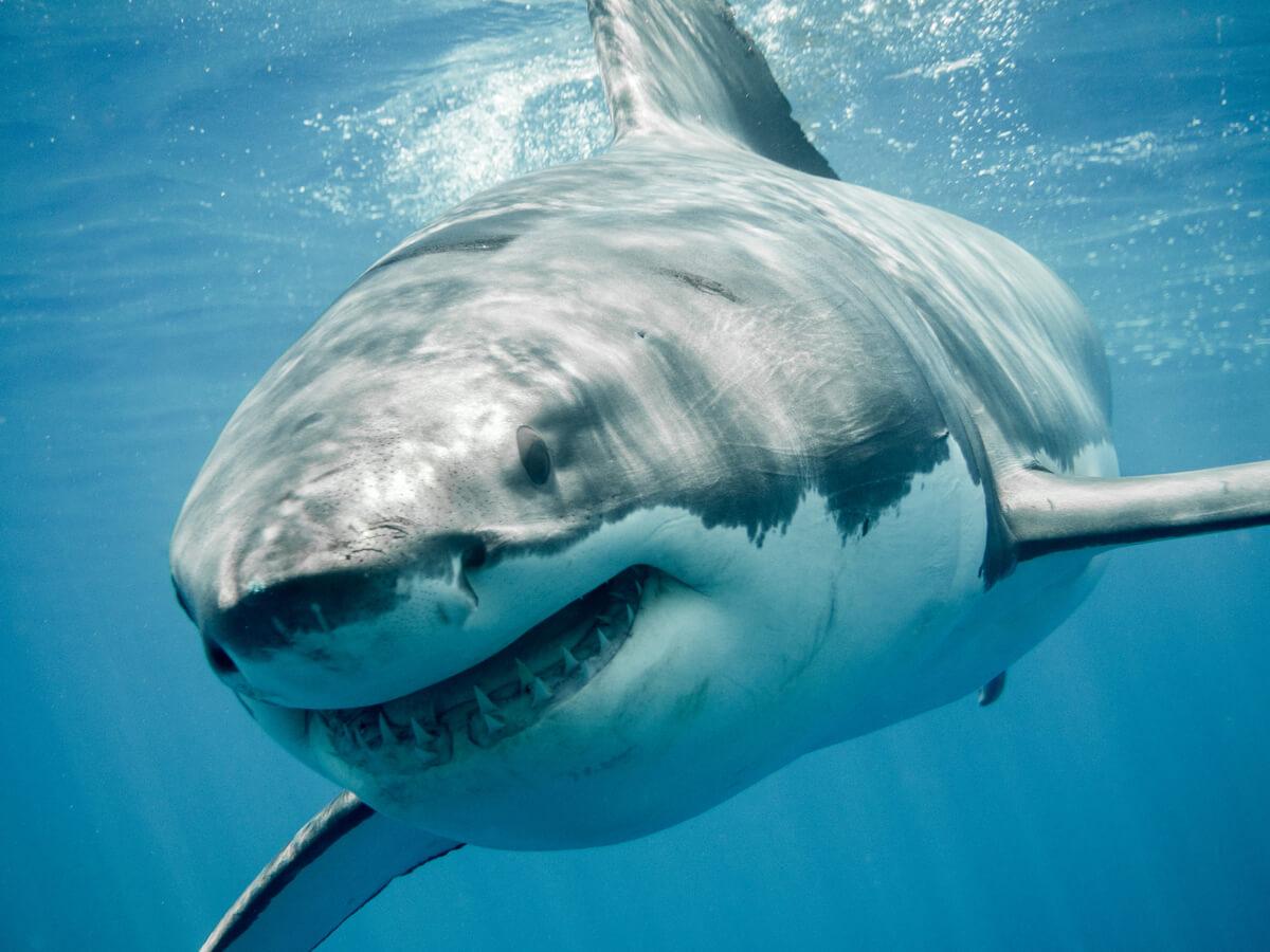 Le requin blanc fait partie des animaux menacés d'extinction en Europe.