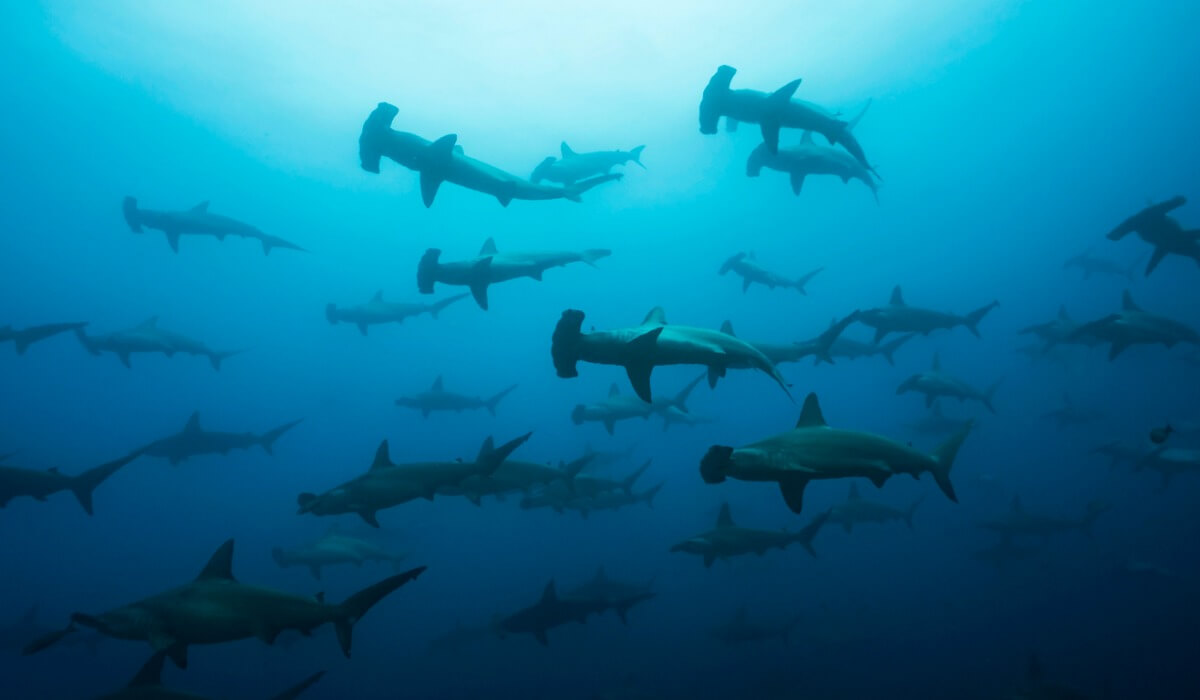 A group of chondrichthyans.