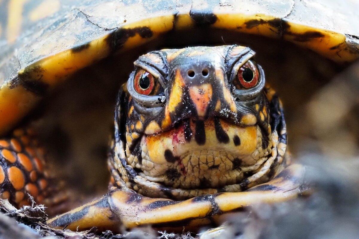 le tartarughe scatola sono animali in letargo.
