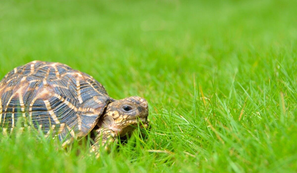 Une tortue étoilée sur le terrain