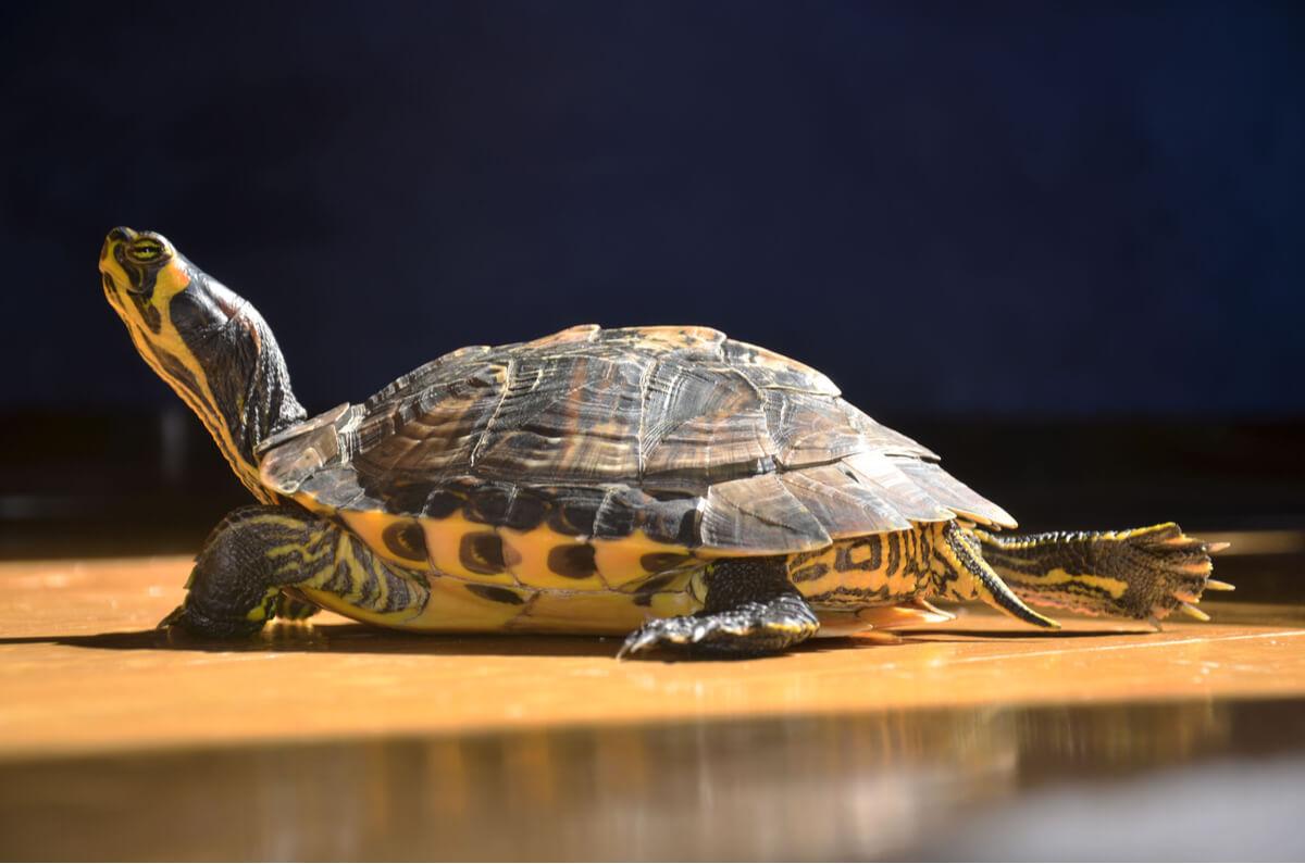 Il comportamento delle tartarughe d'acqua dolce è molto sorprendente.