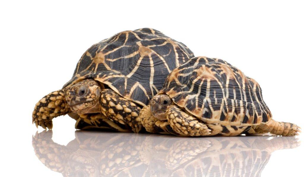Tortuga estrellada: características, alimentación y reproducción
