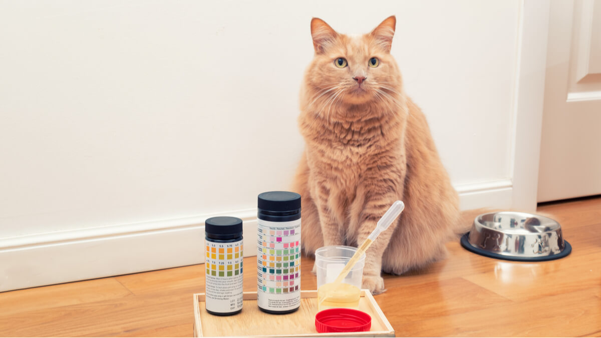 Une analyse d'urine pour détecter la lithiase urinaire chez le chat.