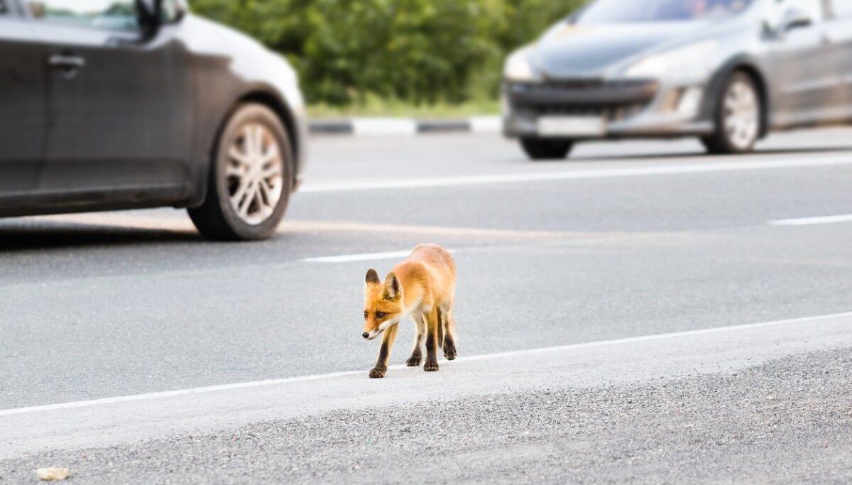 Una foto que ejemplifica los zorros urbanos.