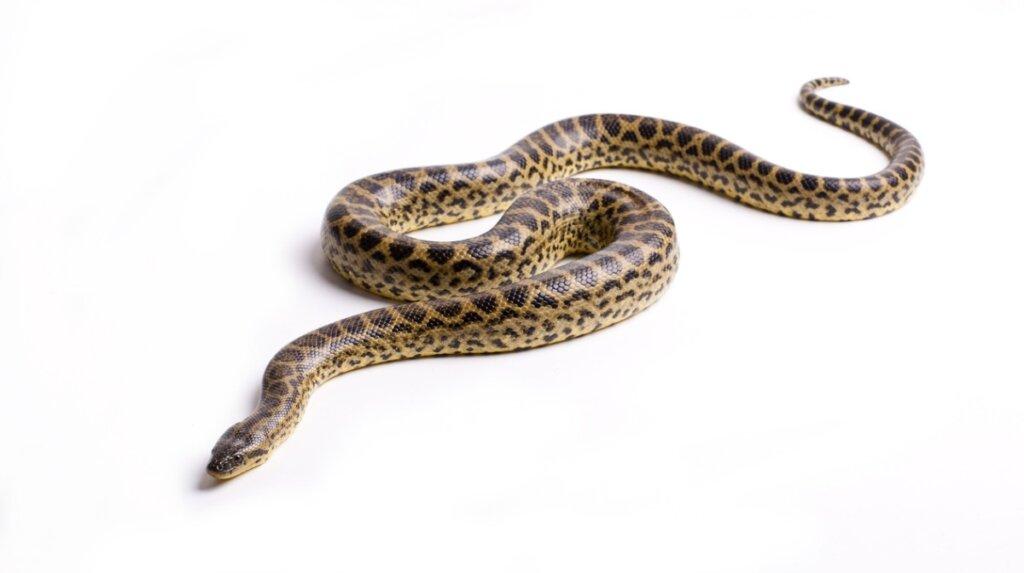 4 especies de anaconda