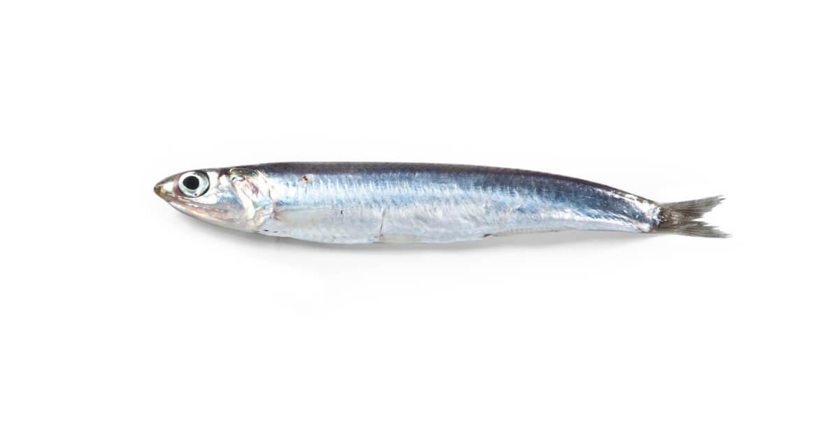 Una anchoa de tamaño grande.