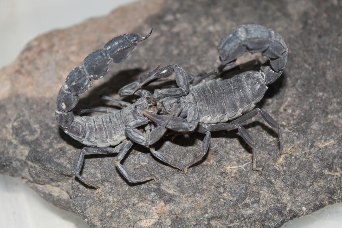 Une paire de spécimens adultes en cours de parade nuptiale.
