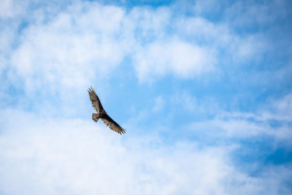 Un spécimen d'Argentavis magnificens dans le ciel.