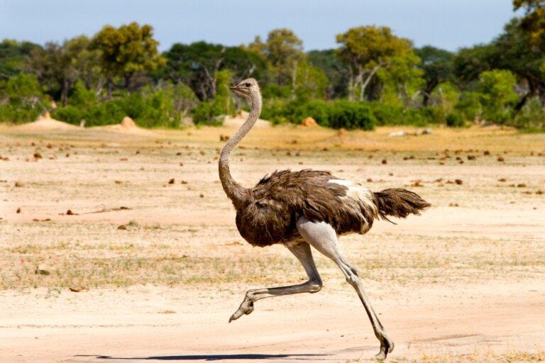 5 curiosidades sobre las avestruces