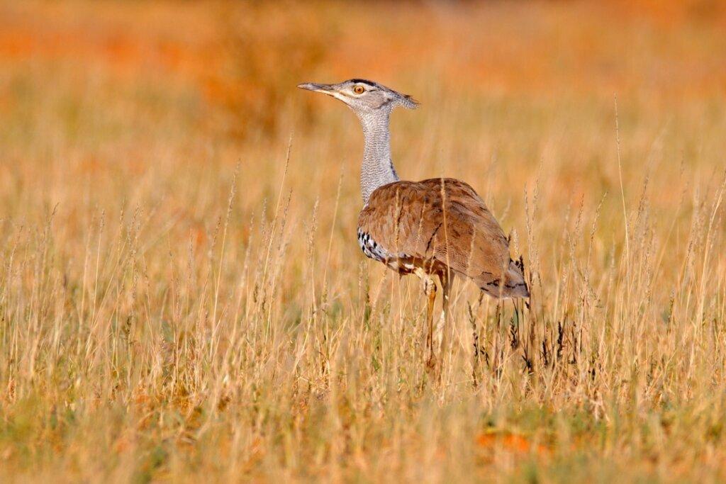 Avutarda india: una de las aves voladoras más grandes, en peligro de extinción