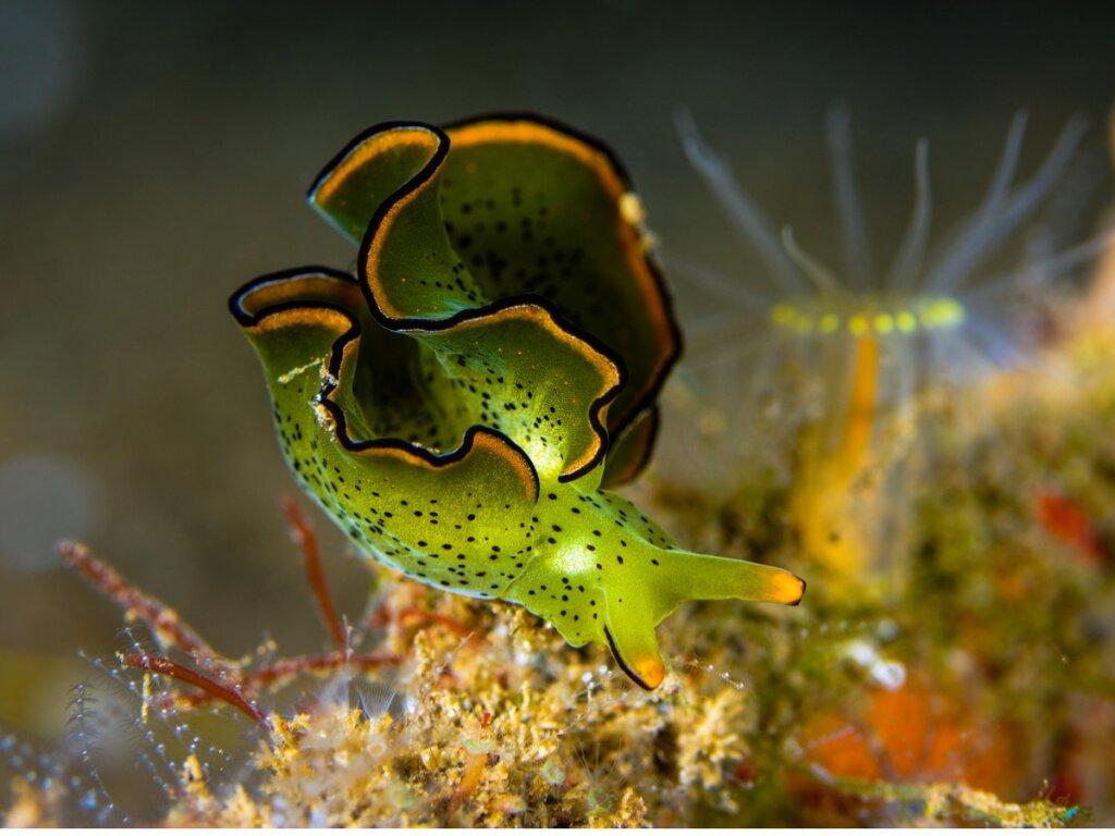 Babosa esmeralda: un animal que hace fotosíntesis
