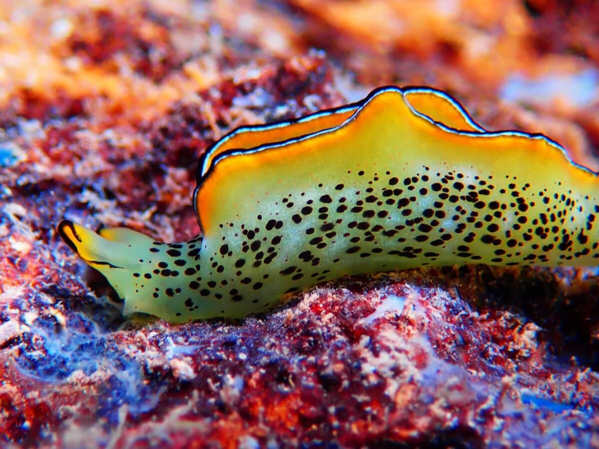 Les limaces de mer sont colorées.