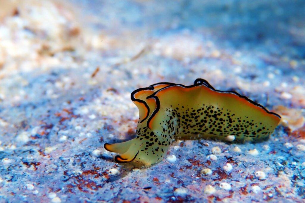 Algunas babosas de mar pueden regenerar su cuerpo después de perder la cabeza
