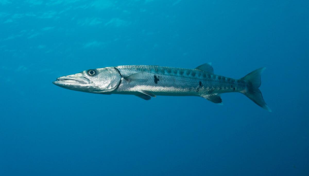 I 12 pesci più pericolosi