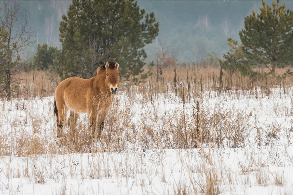 Un caballo de Chernobyl mira a cámara.