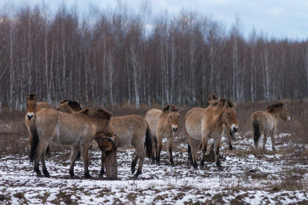 Los caballos de Chernóbil: ¿Cómo sobreviven?