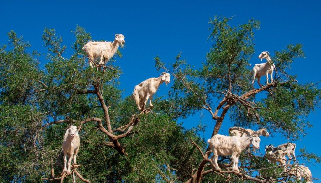 ¿Por qué las cabras se suben a los árboles en Marruecos?