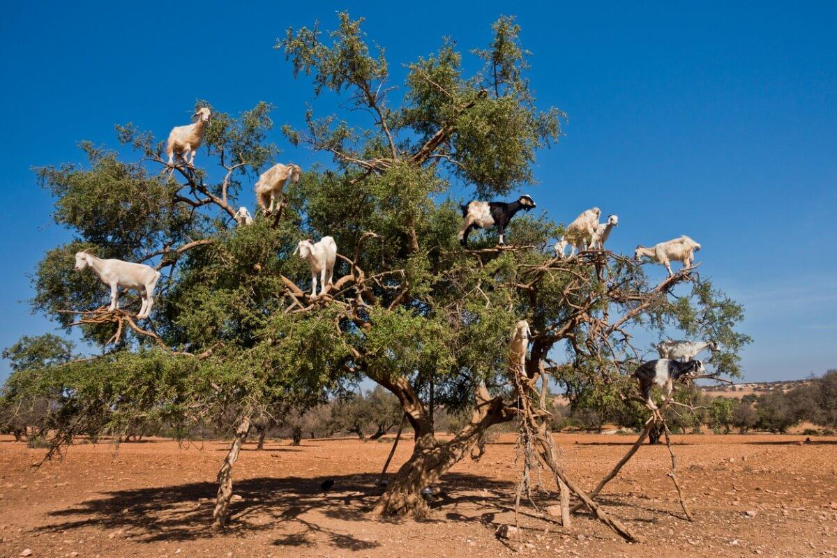Les chèvres marocaines grimpent aux arbres.