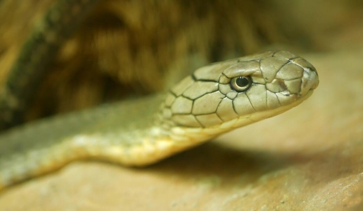 Una cobra real mira a cámara.