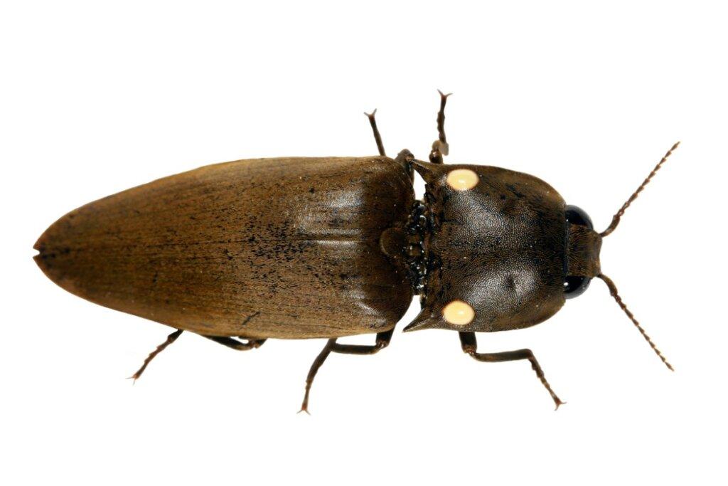 Cocuyos, los escarabajos bioluminiscentes