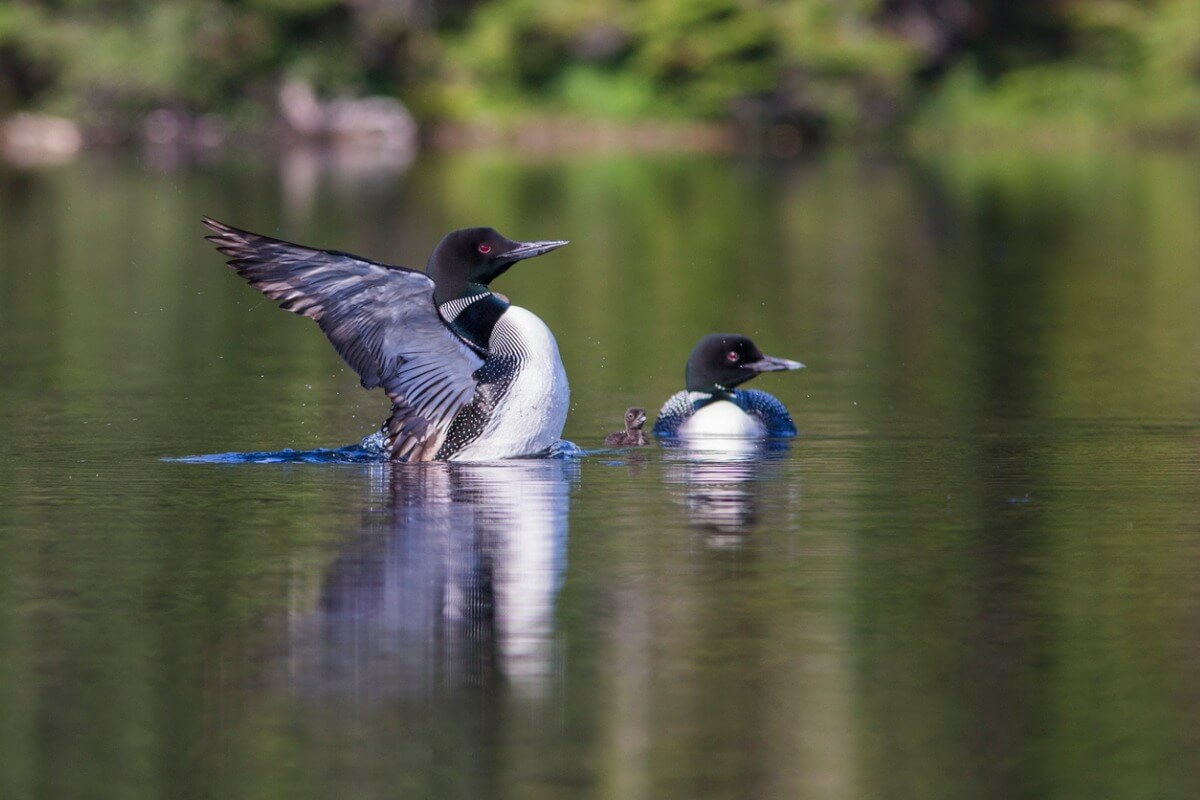 The reproduction of the common loon is fascinating.