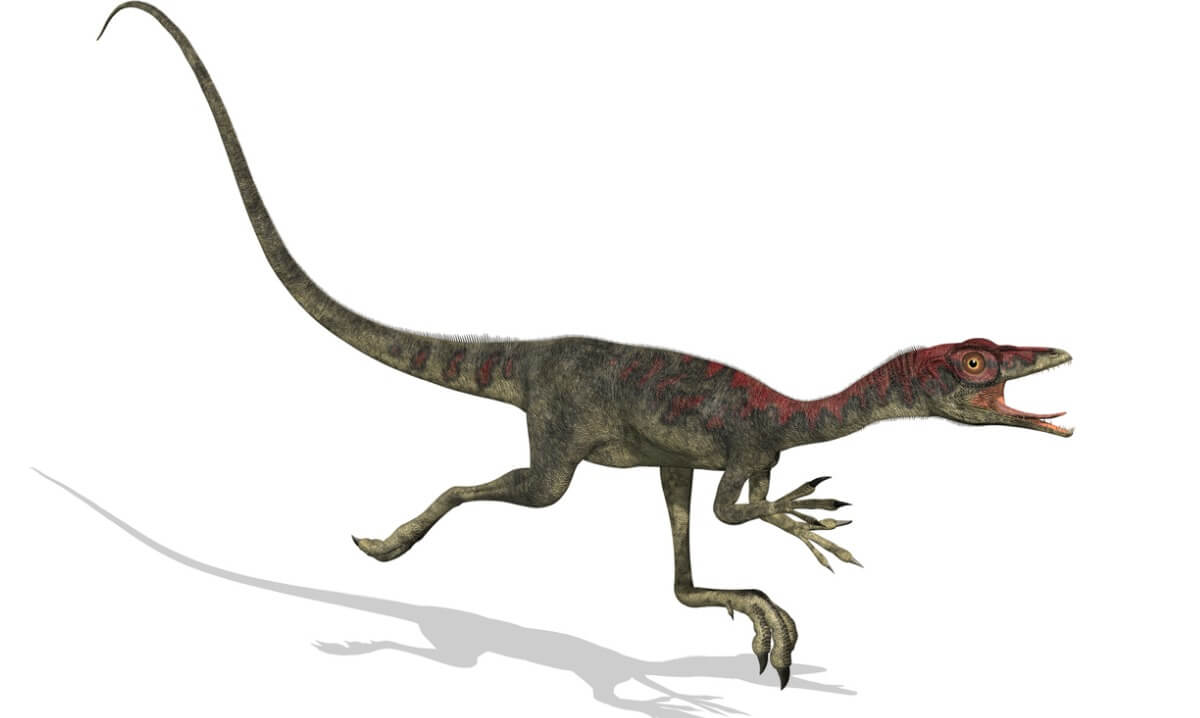 Un compsognathus sur fond blanc.