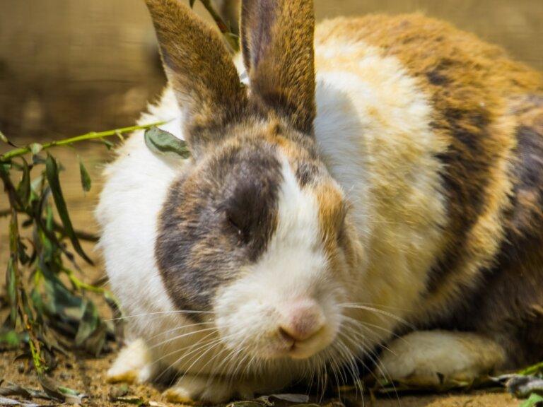Conejo arlequín: características, cuidados y alimentación