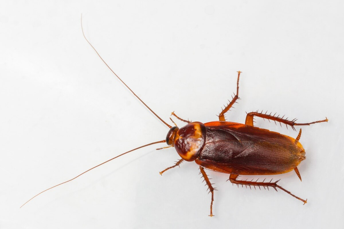 An American cockroach on a white background.