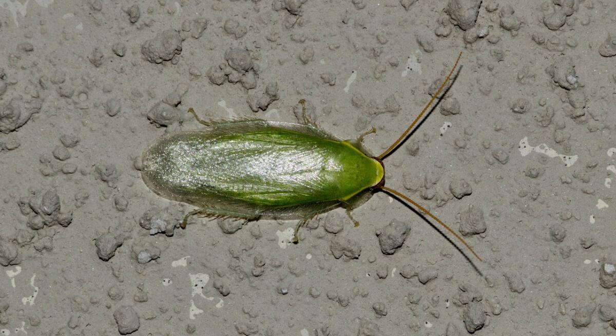 A Cuban cockroach.